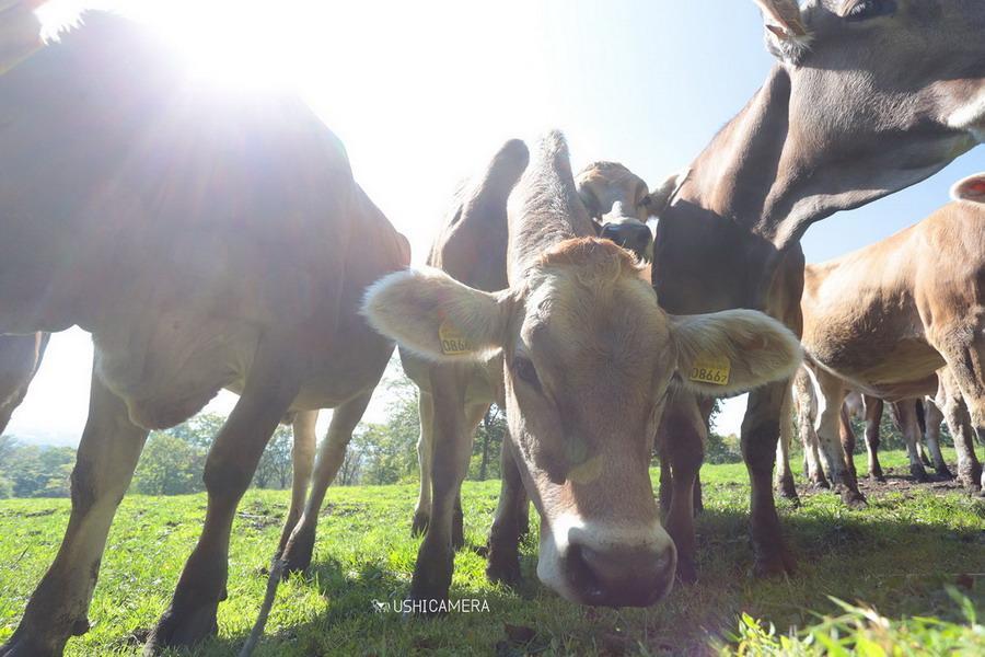 寄ってきてくれる牛さんたち