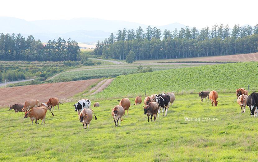 チーズケーキ工房 MANIWA FARM(マニワファーム)|栃木県那須町のホルスタイン牛の写真