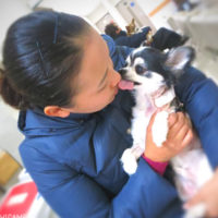 チワワの愛犬やまと 犬僧帽弁閉鎖不全症 手術闘病日記です