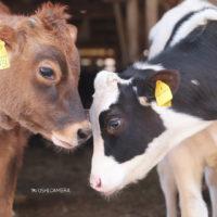 東京都八王子市 磯沼牧場の向き合う牛さんたち