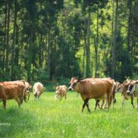 福井県ラブリー牧場のジャージー牛。どんどん寄ってくる牛さんたち!