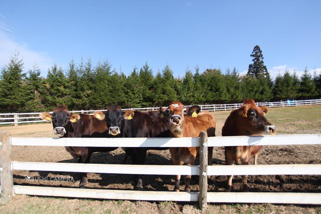 岐阜県郡上市|ひるがの高原牧歌の里のジャージー牛