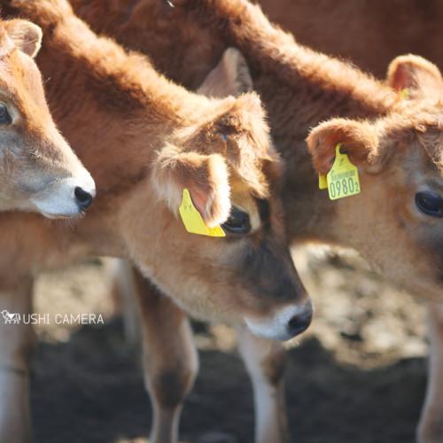 清泉寮 ジャージー牧場|山梨県北杜市のジャージー牛の写真