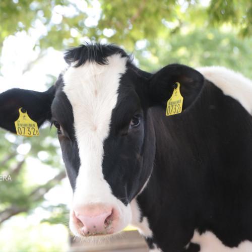 福嶋牧場|東京都西多摩郡日の出町のホルスタイン牛