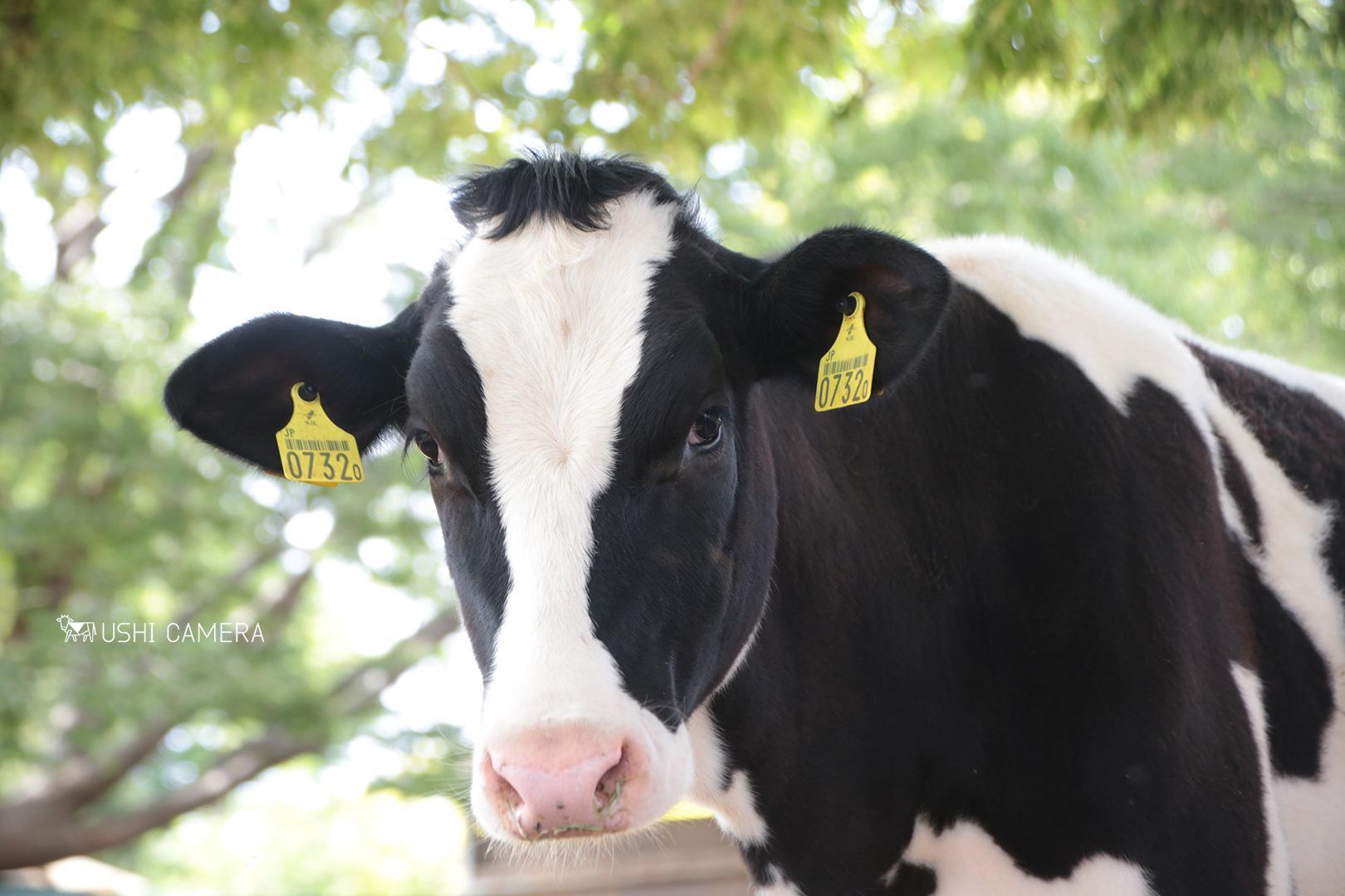 福嶋牧場 東京都西多摩郡日の出町のホルスタイン牛