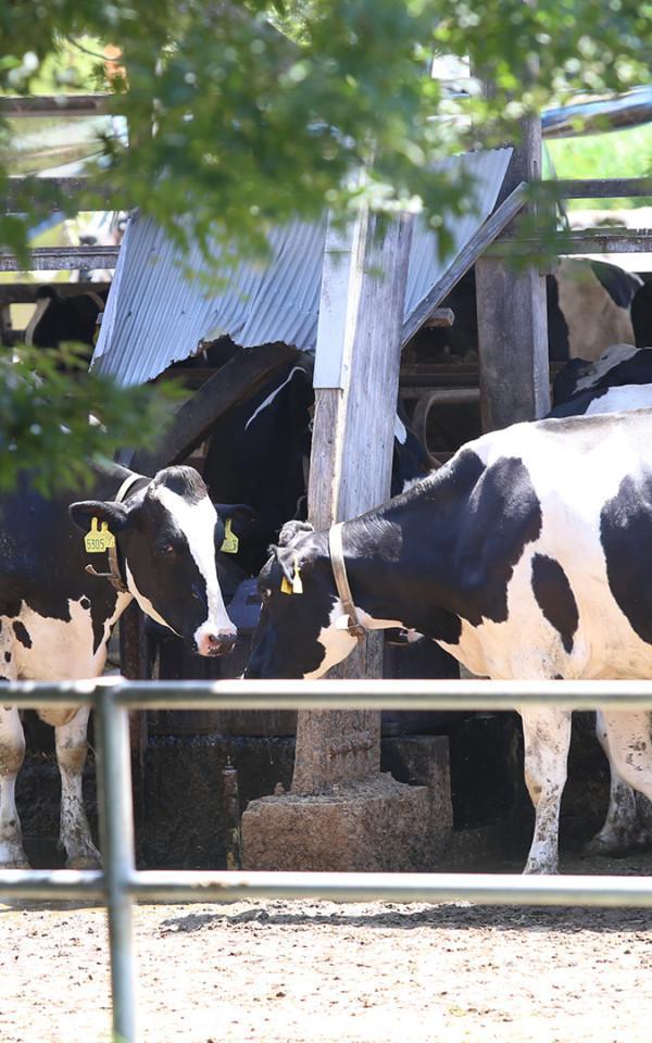 小岩井農場|岩手県岩手郡雫石町のホルスタイン牛