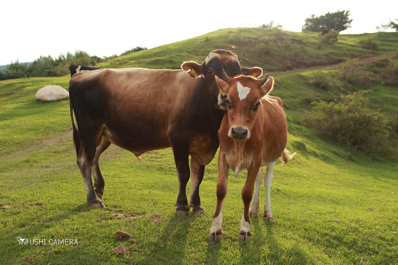 なかほら牧場(中洞牧場) 岩手県下閉伊郡岩泉町の牛写真